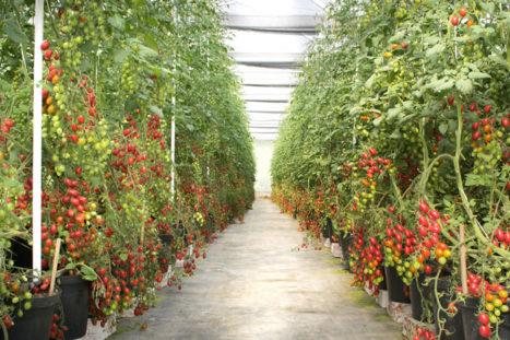 Imagem Plantio de tomates da Chácara Bertolin
